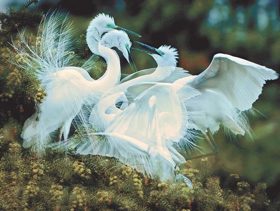 白鹭繁衍生息的过程,鸳鸯戏水逐波的欢快