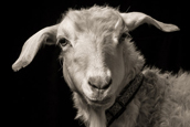 Kevin Horan:羊的表情